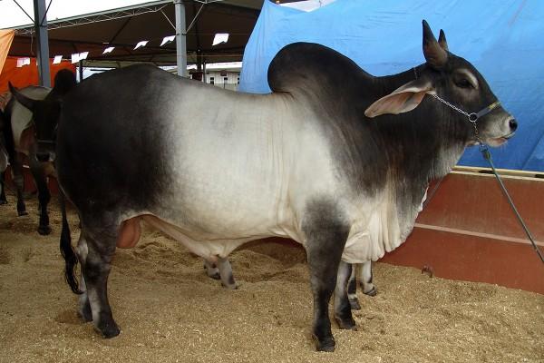 140 animais do tipo Guzerá serão exportados. (Foto: Wikipédia)