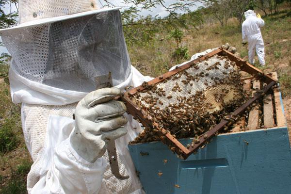 O Rio Grande do Norte tem cerca de 10 mil produtores de mel e média de 60 colmeias por produtor. (Foto: emanuel amaral)