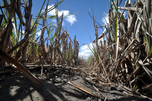 A cana de açúcar é o produto com segunda maior queda na produção: Recuo esperado é de 23,52%. (Foto: Magnus Nascimento)