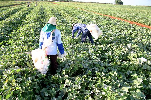 O setor agropecuário foi o que mais contratou trabalhadores no RN, no mês de agosto, diz Caged. (Foto: Alex Régis)