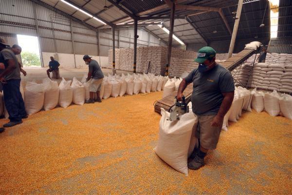 A Conab começou ontem (6) a venda de 4,6 mil toneladas de milho em grãos para os pequenos, médios e grandes agropecuaristas do RN (Foto: Magnus Nascimento)