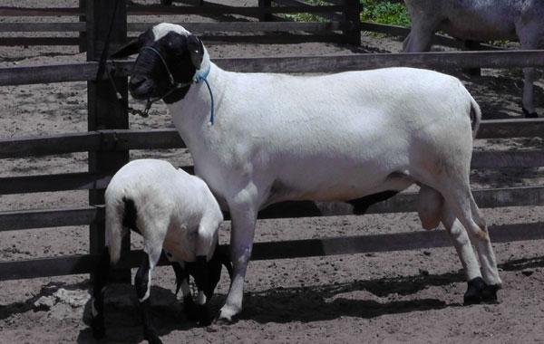Animal é apontado como resistente às condições do semiárido. (Foto: divulgação)