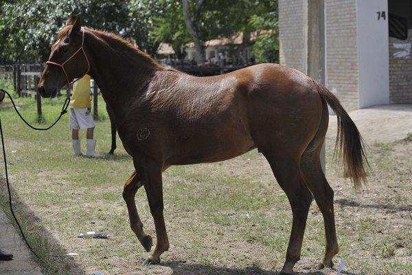 50 lotes de cavalos serão leiloados durante a Festa do Boi 2014 (Foto: Alberto Leandro)