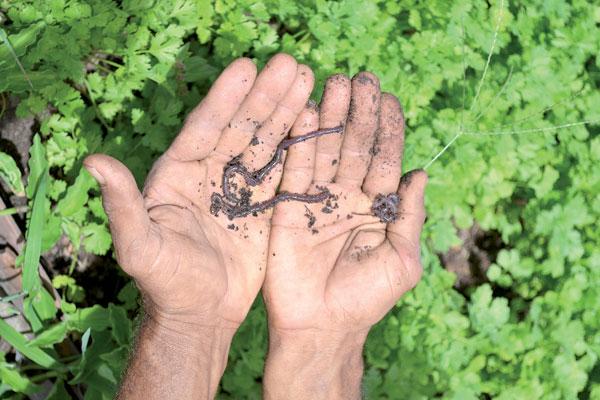 Minhocas simbolizam solo revitalizado em horta orgânica: Produção abre novos horizontes no RN. (Foto: Cledivânia Pereira)