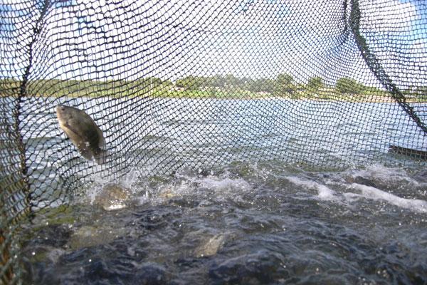 Criação de tilápia no Assentamento Rosário, em Ceará Mirim (RN): Atualmente o peixe é vendido inteiro e rende R$ 8 por quilo aos produtores. Eles esperam mais. (Foto: Alex Regis)
