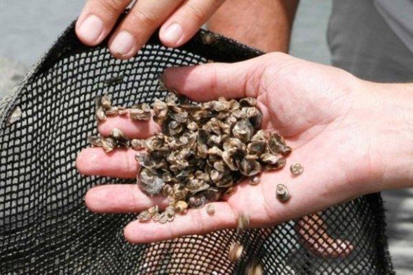 A meta é produzir pelo menos 180 milhões de sementes de ostras por ano. (Foto: Moraes Neto)